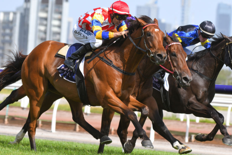 MANOLO BLAHNIQ winning the Chester Manifold Stakes during Melbourne Racing at Flemington in Melbourne, Australia.
