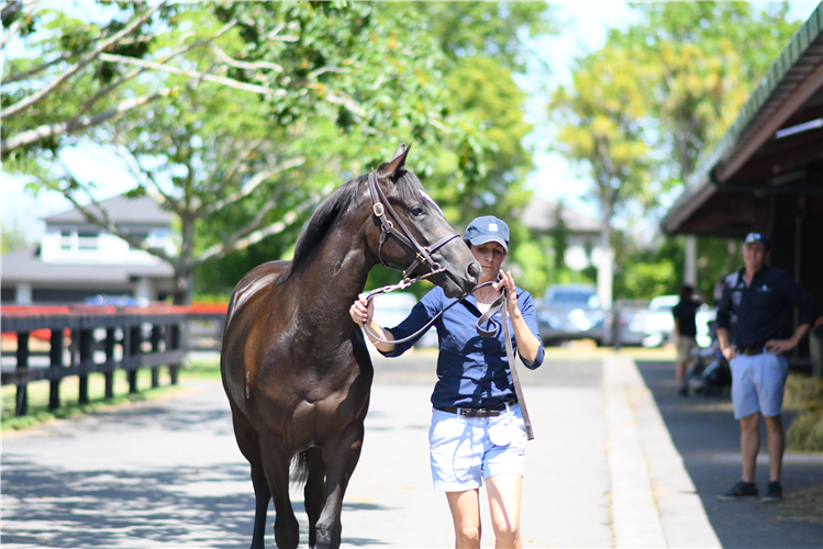 Beaufort Downs - Lot539 (So You Think x Dazzling Lady) (3)