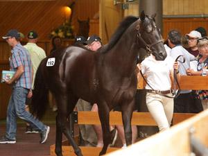 「无极限」在今年新西兰纯种周岁马拍卖会上被特泰克场主大卫·埃利斯以140万新西兰元买下