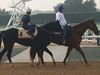 Stallwalkin' Dude (No 4) with a track rider up coming back from his hit-out on Thursday.