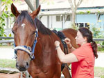 Dr Maria Fernanda Sepulveda Caviedes adjusts the English device to measure lameness on a horse at Kranji.