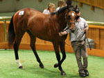 Furore as a yearling at the New Zealand Bloodstock National Yearling Sales