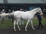 Lot 182, white filly by Reliable Man - Karaka Sale 2017