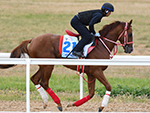 CHESTNUT COAT of Japan gallops during a trackwork session at Werribee in Melbourne, Australia.